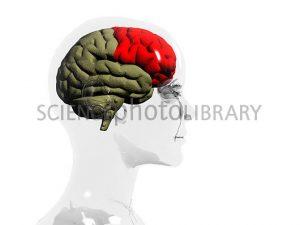 rp_P330366-Human_brain_frontal_lobe-SPL.jpg