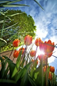rp_to_the_sun_-_red_tulips_6636-199x300.jpg