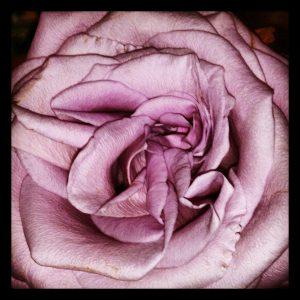 Ljuvlig ros