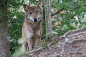 wolf-931227_1920