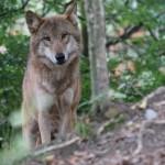 Ensamma mamman har vargar i skogen